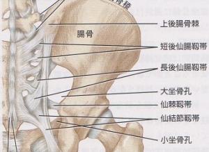 仙腸関節 靱帯画像
