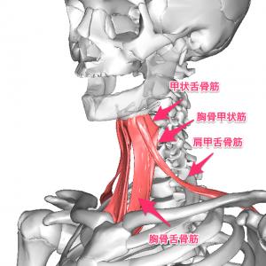 舌骨下筋群の画像